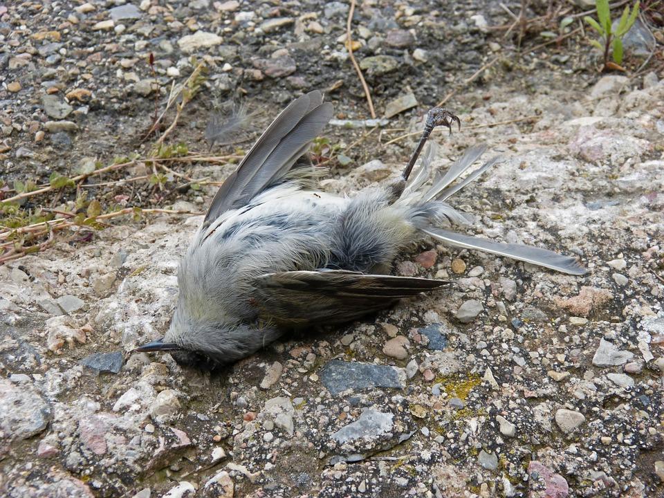 dead-bird-1007554-960-720.jpg