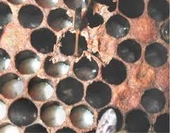 mor včelího plodu.png