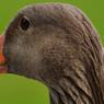 ptaci-chripka.jpg