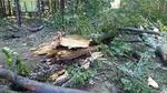 buk v Černém lese.jpg